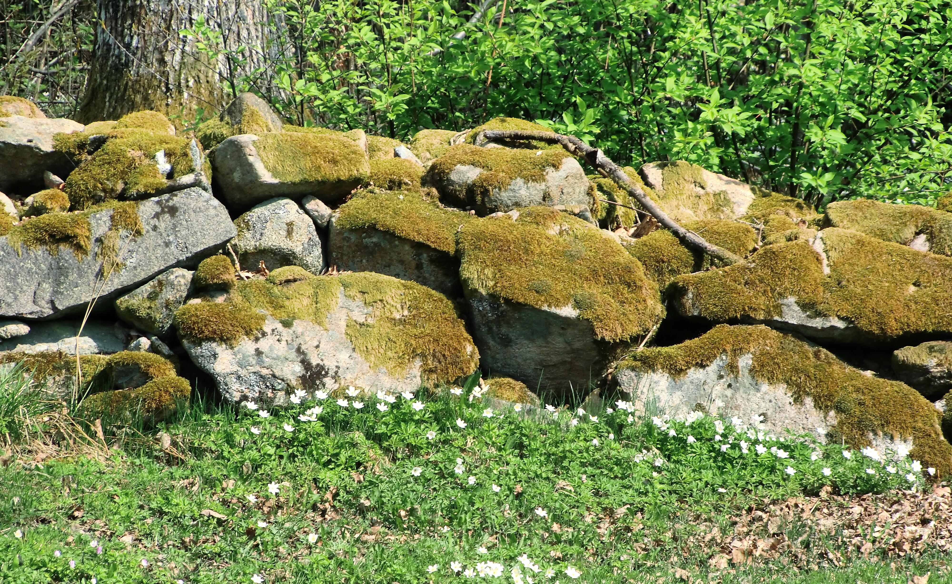 Stenmur med vitsippor framför.